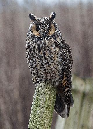 Lond Ear Owl